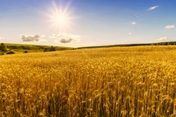 Scenic view at beautiful summer day in a wheaten shiny field with golden wheat and sun rays, deep blue cloudy sky and road, rows leading far away, valley landscape