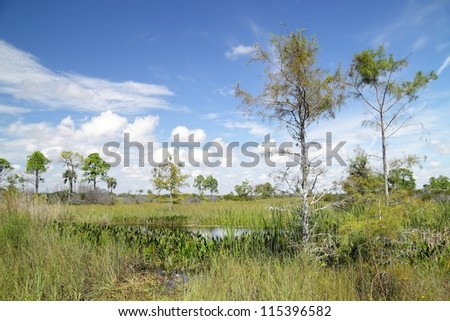 Scenic view from the Upper Wagon wheel Road in the Big Cypress National Preserve with slash pines and other native to Florida plants and shrubs