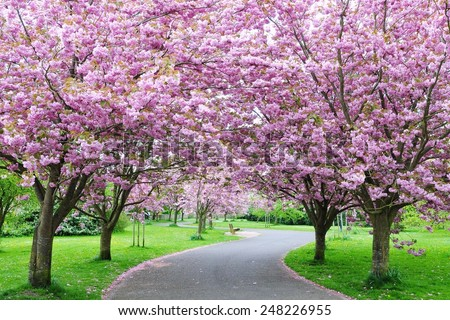 Scenic View of a Winding Path Lined by Beautiful Cherry Trees in Blossom in a Garden during Springtime