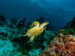 Scenic view of colorful Marine life's environment, A Sea Turtle swimming  with an unidentified diver swims in distance in their natural diverse habitats. Underwater scuba diving under deep blue sea.