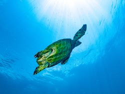 Scenic view of colorful Marine life's environment, A Sea Turtle with yellow green shield swimming under the sunlight in their natural diverse habitats. Underwater scuba diving under deep blue sea.