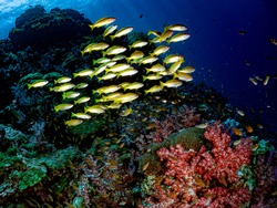 Scenic view of colorful Marine life's environment, school of yellow stripe fishes, coral reef with soft and hard corals in their natural diverse habitats. Underwater scuba diving under deep blue sea.