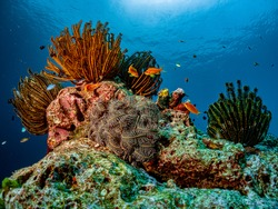 Scenic view of colorful Marine life's environment, small fishes at coral reef with sea feathers in their natural symbiotic and diverse habitats. Underwater scuba diving under deep blue sea.
