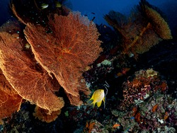 Scenic view of colorful Marine life's environment, Yellow Damselfish at coral reef with Gorgonian sea fan in their natural symbiotic and diverse habitats. Underwater scuba diving under deep blue sea.