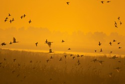 Scenic view of flock of birds flying over wetland at sunrise