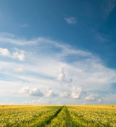 Scenic view of grain field and bright blue sky with cumulus and cirrus. Rural summer landscape. Beauty nature, agriculture and seasonal harvest time. Panoramic banner.