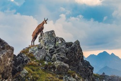 Scenic view of mountain goat on high rocky mountain peak in the Tatra Mountains