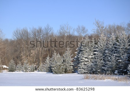 Scenic view of Snowy Field and Frost Covered Spruce Trees