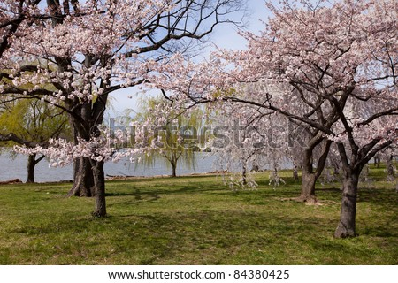 Scenic view of the cherry blossom trees in Washington, DC