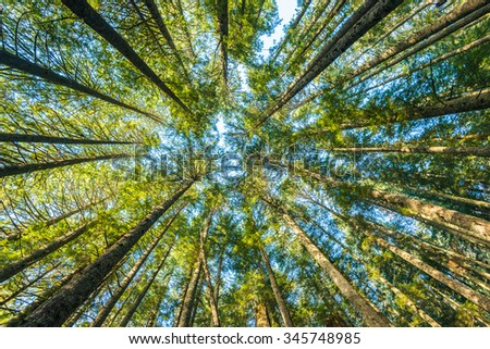 scenic view of very big and tall tree in the forest in the morning