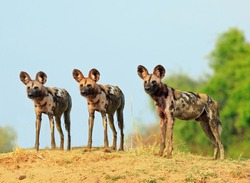 Scenic view of wild dogs (Lycaon Pictus) Painted Dogs standing on topof a sandbank surveying the area after a recent Kill, with a bright blue clear sky background. South Luangwa National Park, Zambia