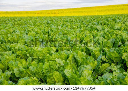Scenic view on a sunny day of beet plants that are grown for agriculture and produce sugar out of it or to feed animals as food. The foreground is sharp and the background gets blurry.
