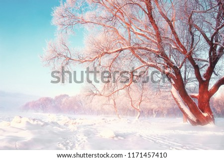 Scenic winter background. Snowy frosty tree on bright sunny day. Natural scene after snowfall. Hoarfrost on the branches of trees. Christmas theme. Snow-white nature.