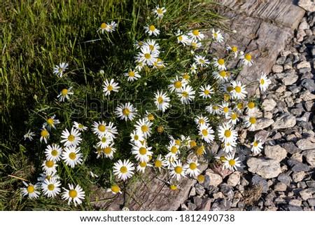 Scentless Chamomile (Tripleurospermum inodorum Sch) flowering in late summer Stock foto ©