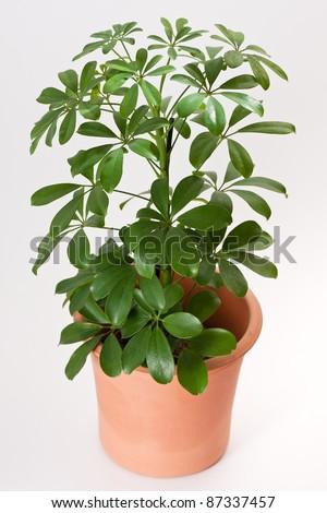 Schefflera arboricola house plant in flower pot