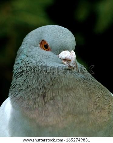 Schietti Pigeon, Portrait  of adutl Stock photo ©