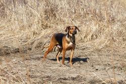 Schiller hound dog in a field.