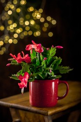 Schlumbergera flower for the holiday Christmas in a red pot