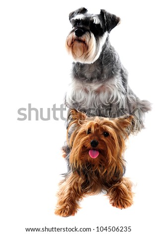 Schnauzer and Yorkshire Terrier - Dogs on white background. Studio shot