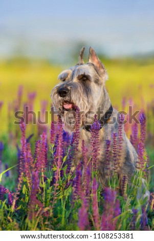 Schnauzer dog close up portrait in violet flowers #1108253381