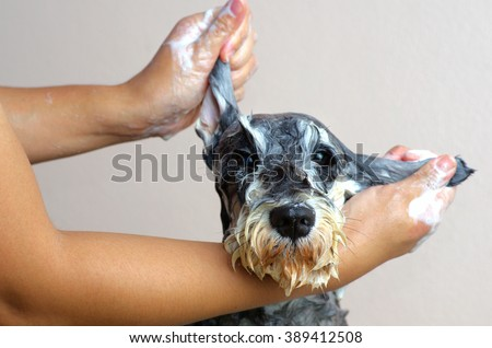 Schnauzer Dog grooming