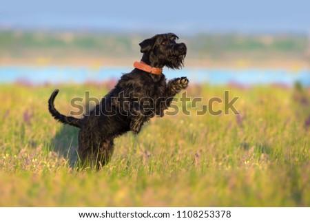 Schnauzer dog jump and run in salvia flowers field #1108253378