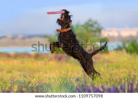 Schnauzer dog jump and run in salvia flowers field #1109757098