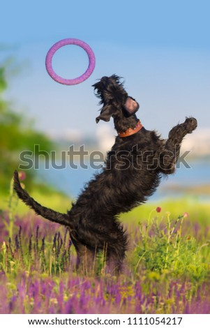 Schnauzer dog jump and run in salvia flowers field #1111054217