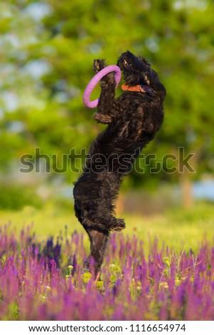 Schnauzer dog jump and run in salvia flowers field #1116654974
