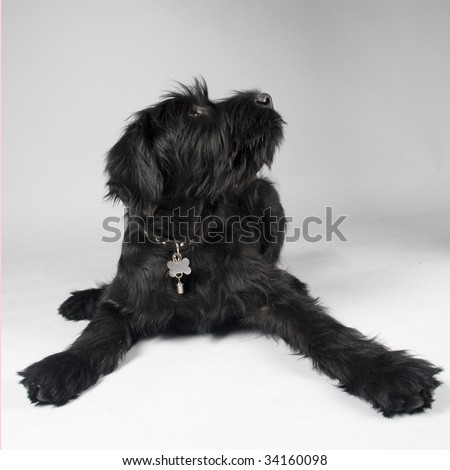 schnauzer pup laying down