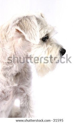 Schnoodle - Part Schnauzer and Poodle 2