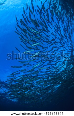 School barracuda fish #513675649
