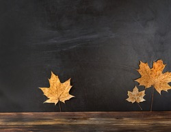 school blackboard with autumn maple leaves. concept of school education, back to school. Happy Thanksgiving, autumn season. copy space