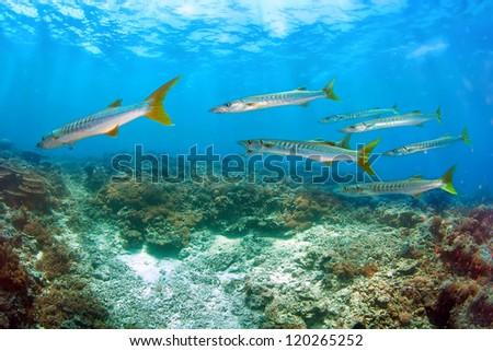 School of Barracuda fish gather during breeding season