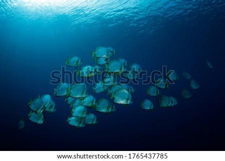 School of Batfish in the Blue, against Surface. Pulau Koon, Banda Islands, Indonesia Foto stock ©