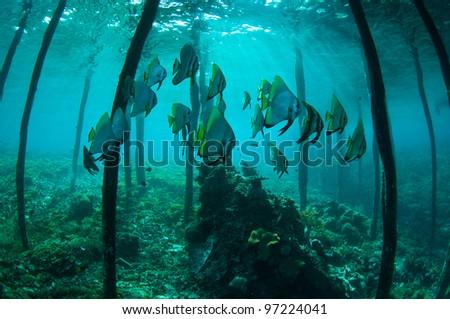 School of batfish under the jetty