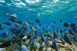 School of blue tang fish, acanthurus coeruleus, swimming on the coral reef