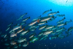 School of Bluefin Trevally hunting on a dark coral reef in the Andaman Sea