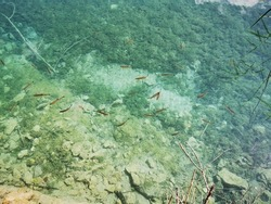 School of brown trout Salmo trutta  in shallow turquoise pristine waters of Plitvice Lakes National Park in Summer - Croatia