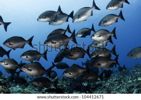 school of fish, Bermuda chub, swim over a coral reef in the Caribbean.