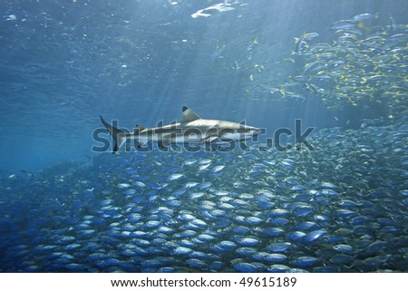 school of fish fleeing from a blacktip reef shark. There are sunbeams shining through the water and a second shark in the background. The foreground shark has a slender suckerfish, or remora attached.