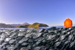 School of fish gilt-head bream (Sparus aurata) Mediterranean sea. Fish farming.