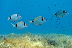School of fish, seabream, swimming in the blue ocean. Sea bed, underwater plants and blue sea background. Scuba diving vacation trip with aquatic life.