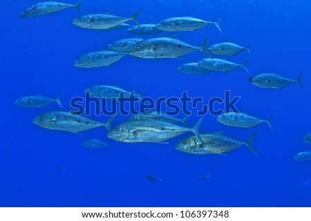 School of Fish: Trevallies in the Red Sea