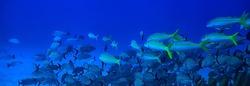 school of fish underwater photo, Gulf of Mexico, Cancun, bio fishing resources