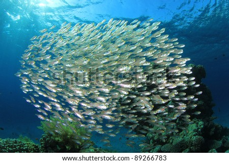School of Glassfish (Sweepers) above a coral reef in the Red Sea
