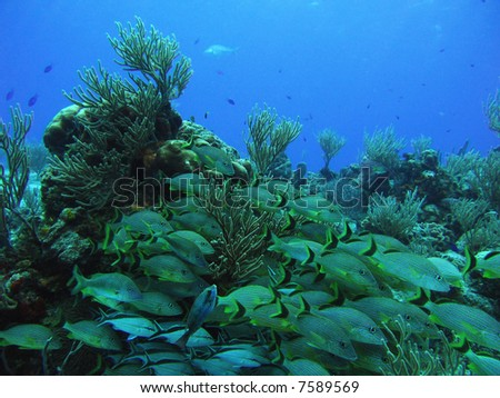 School of Grunts and Cottonwicks over a reef in the Caribbean Sea off Cozumel