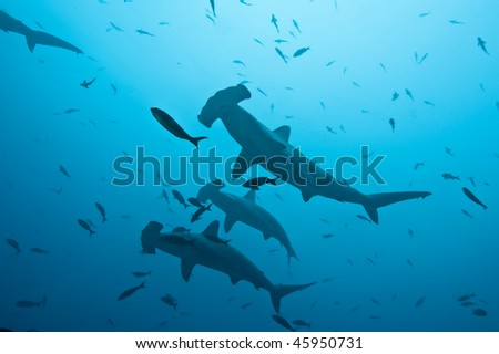 School of hammerhead in the blue, Galapagos
