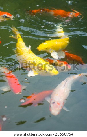 stock photo School of Japanese koi carp in a pond