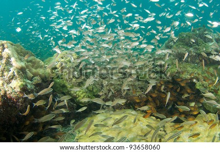 School of Juvenile Blue Runners - stock photo